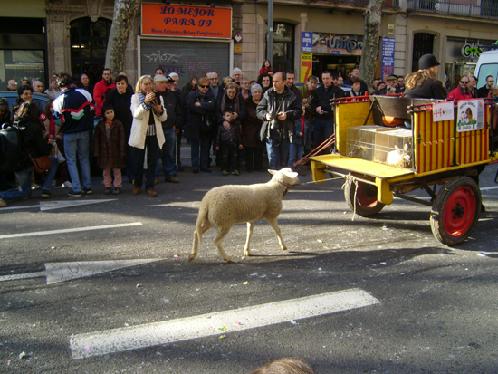 Sheep trailing behind procession at Els Tres Tombs