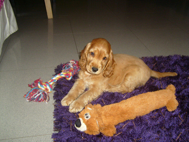 Cocker Spaniel pup with toy