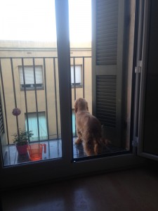 Cocker Spaniel looking out window