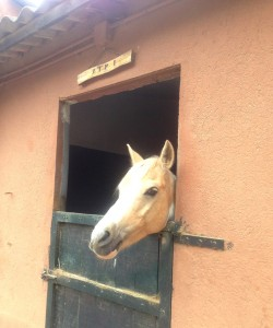 Palomino horse in horse box